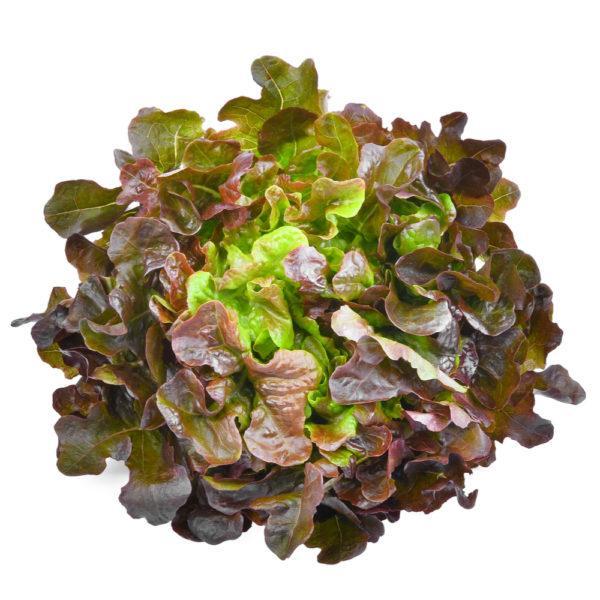 Oakleaf Lettuce, Holland - Per Pc